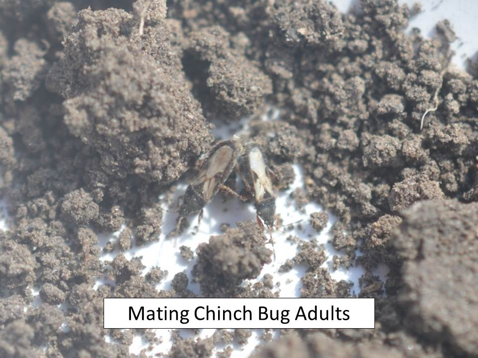 chinch bug mating