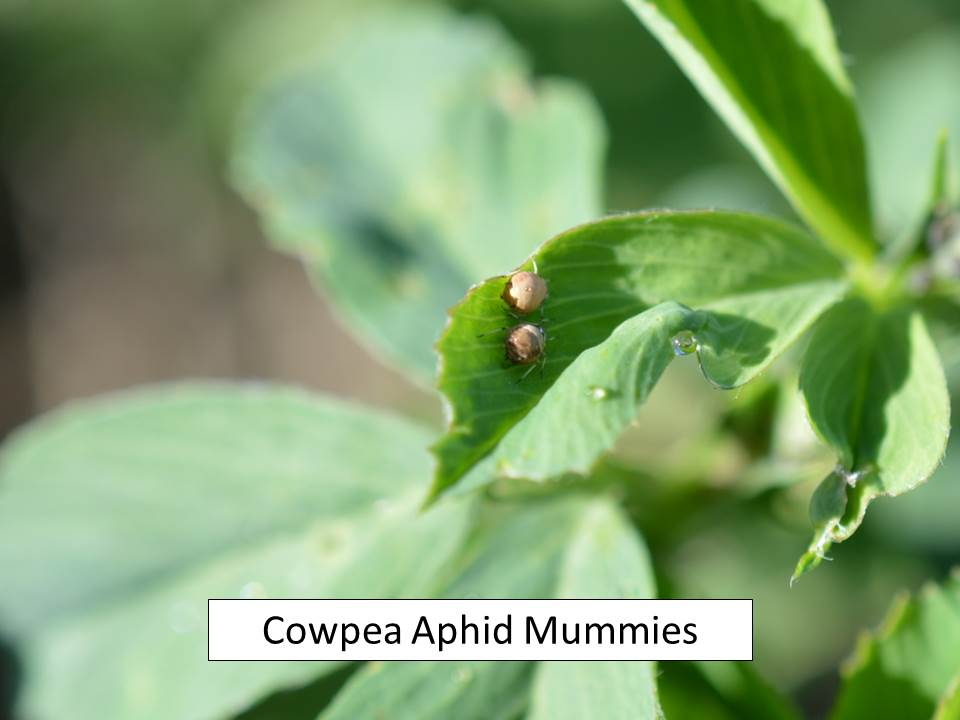 cowpea aphid mummies