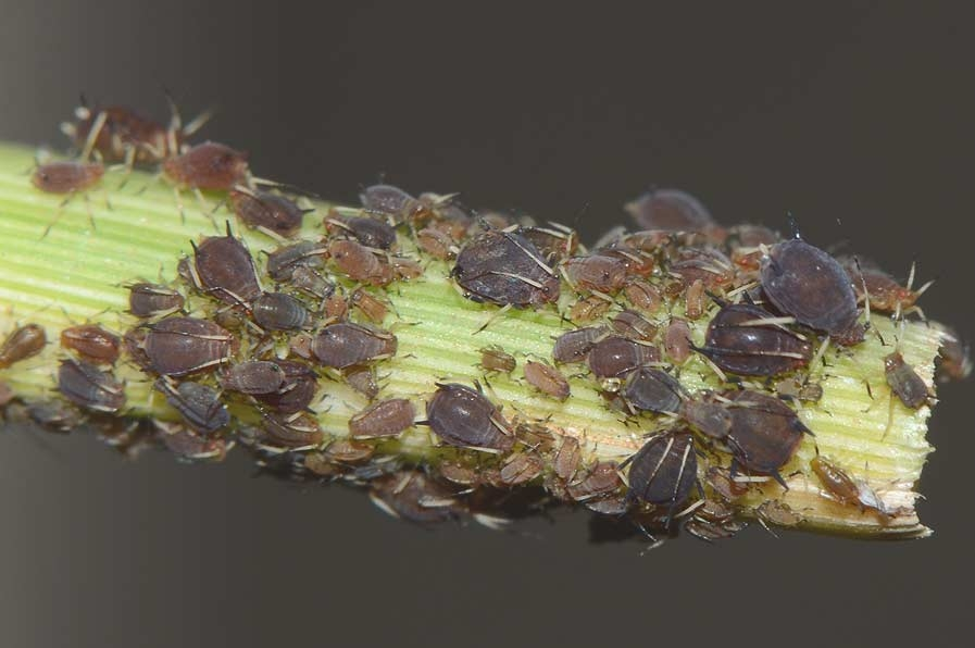 rusty plum aphid ks