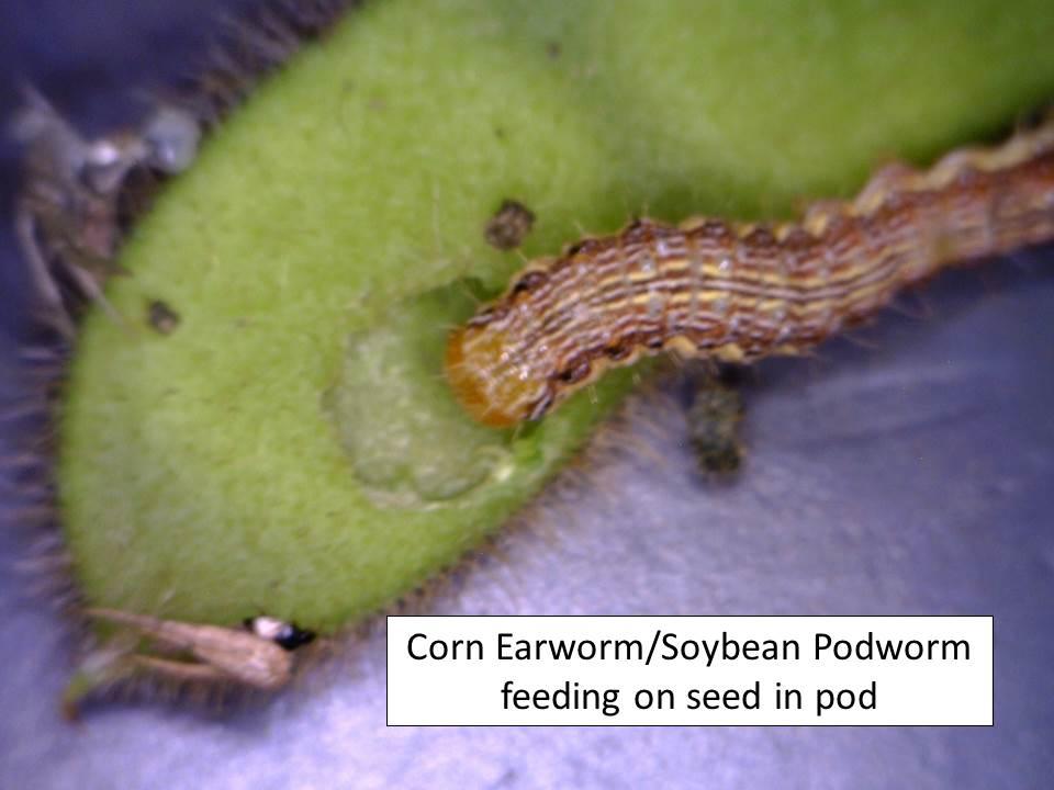 CEW pod feeding
