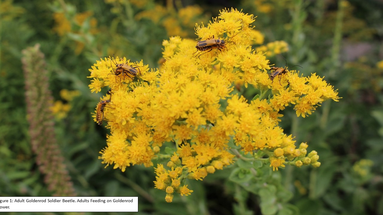 Figure 1 Adult Goldenrod Soldier Beetle.pptx