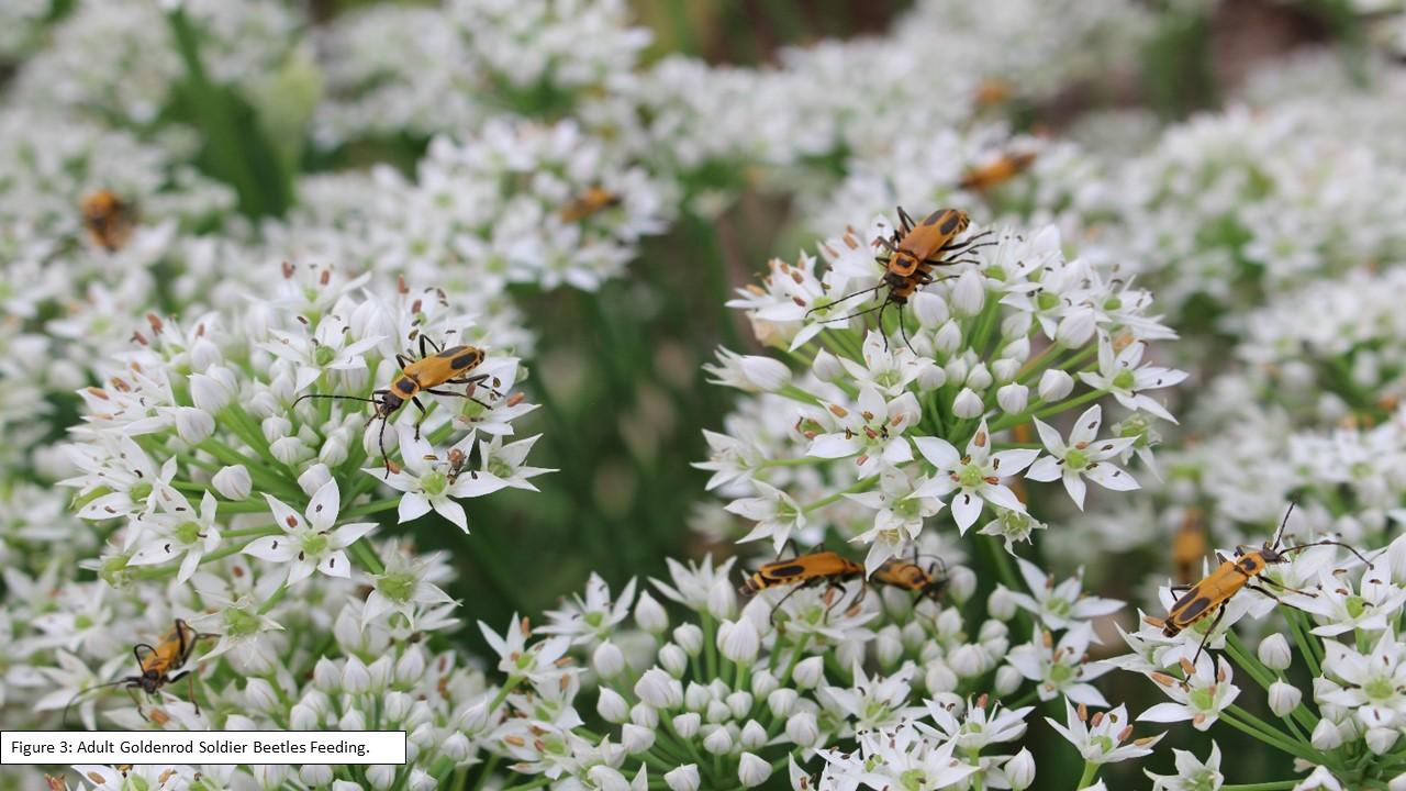 Figure 3 Adult Goldenrod Soldier Beetles Feeding
