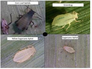 aphid species