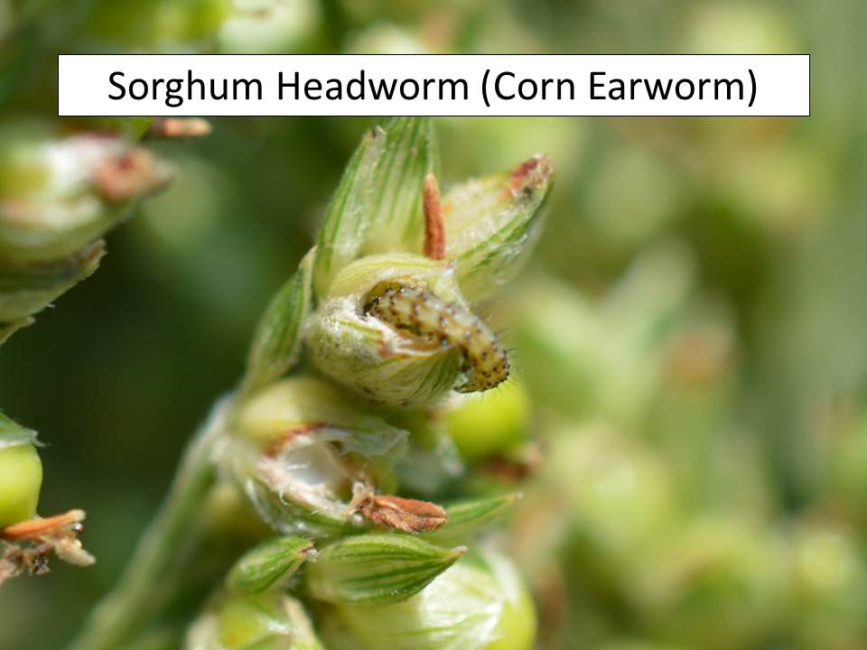 sorghum headworm in berry