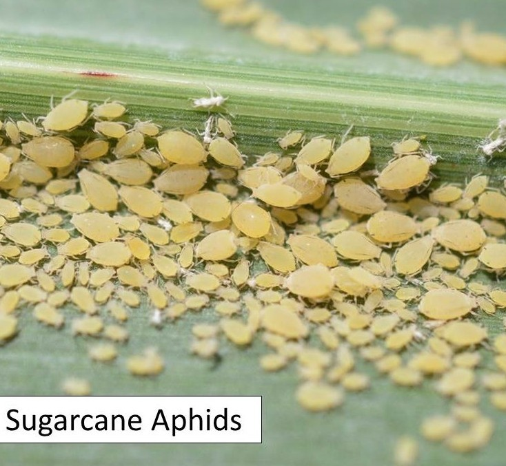 sugarcane aphid colony