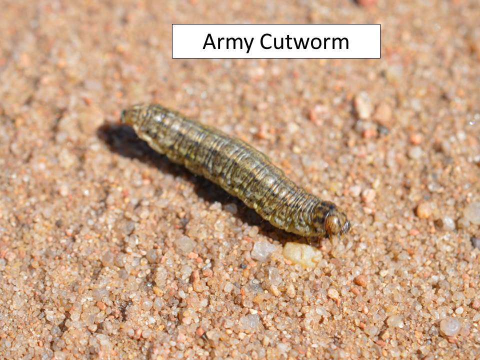 army cutworm