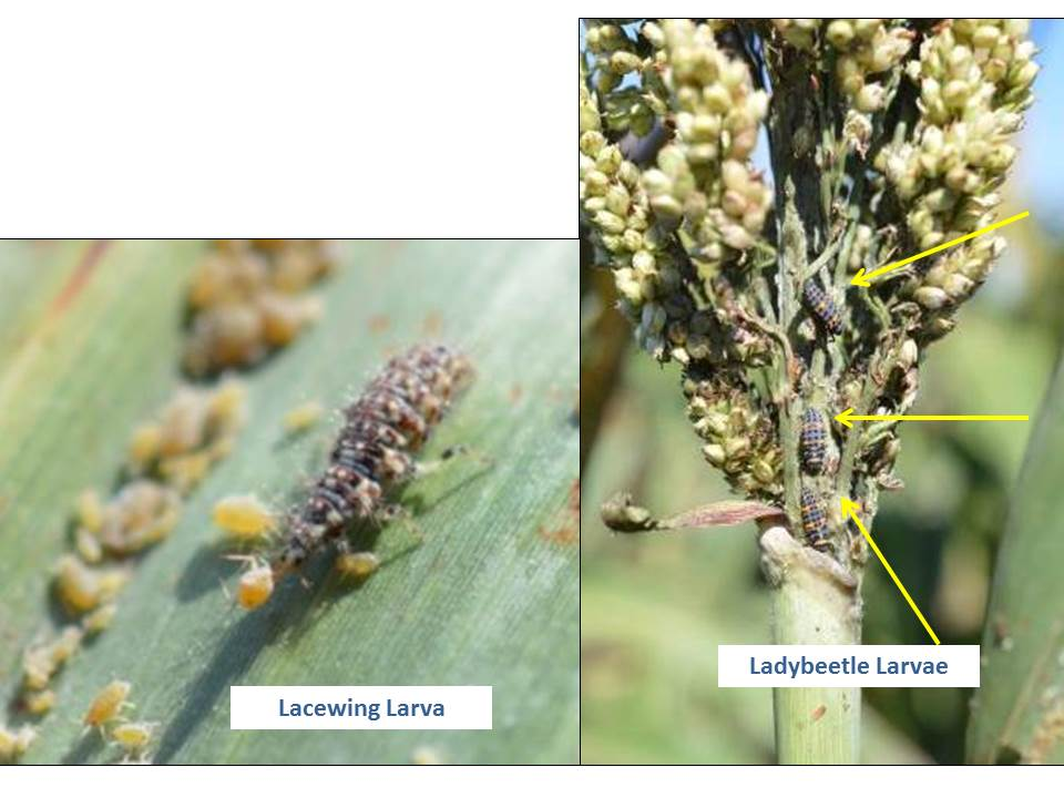 beneficials - aphids