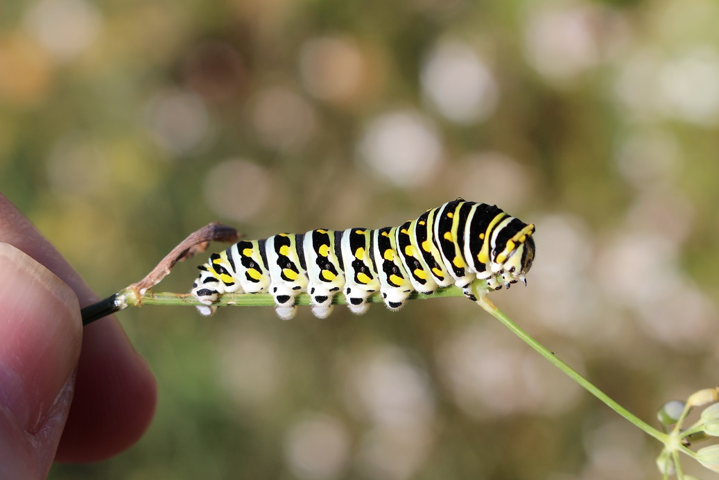 newFigure1Parsleyworm Caterpillar