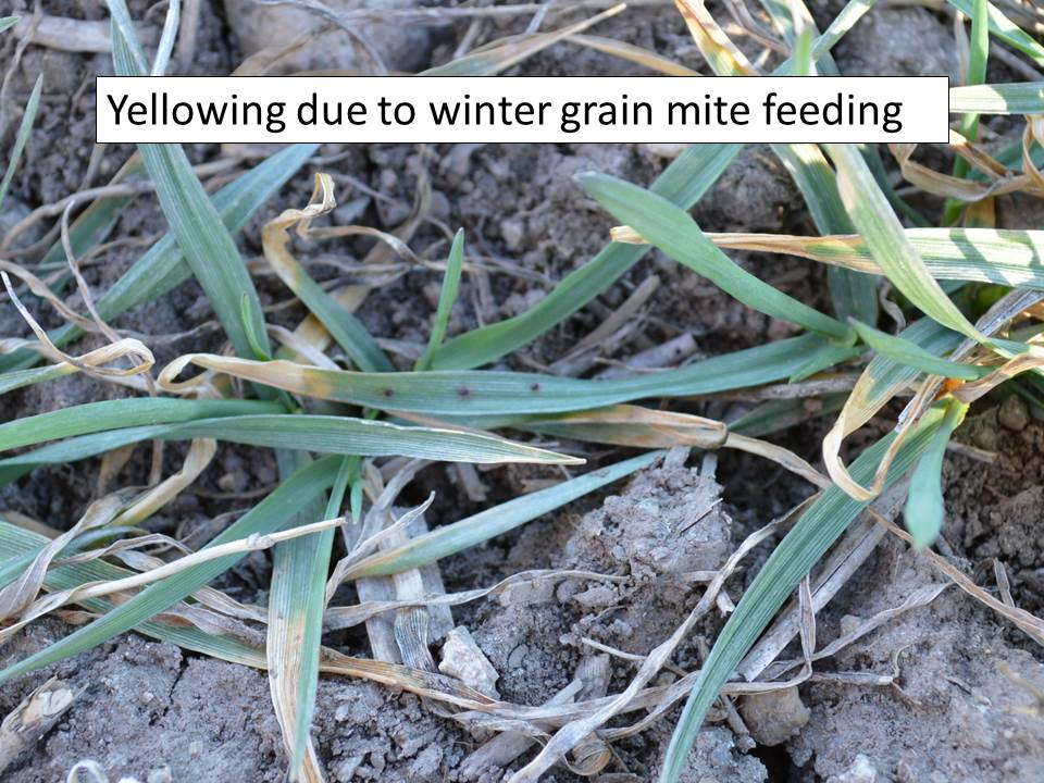 Winter grain mite feeding