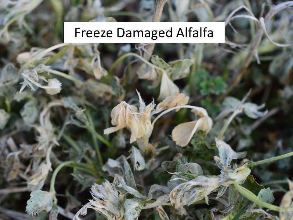 Alfalfa freeze close