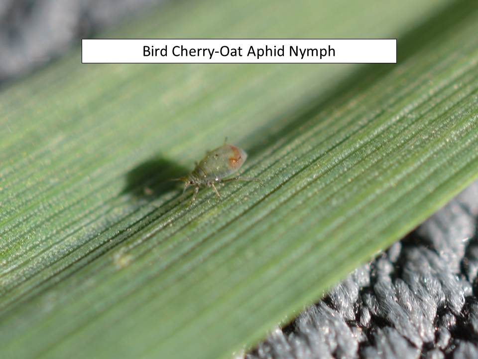 BCOA nymph