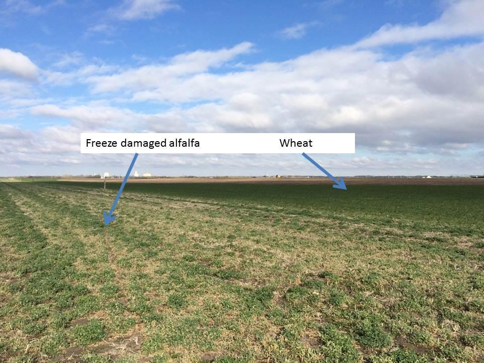 alfalfa freeze field