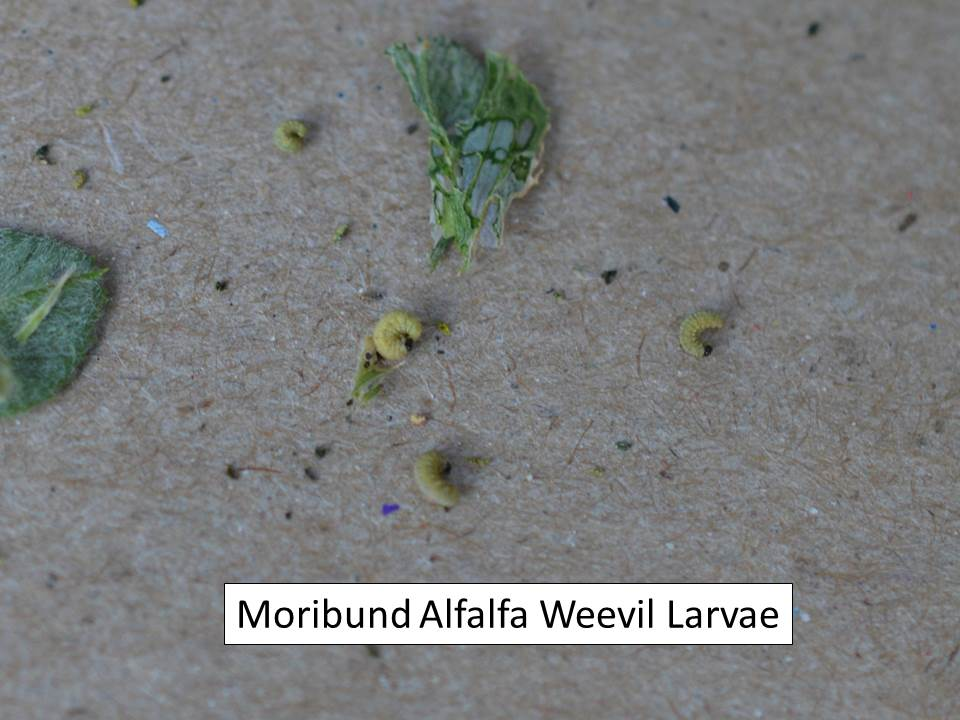 moribund larva