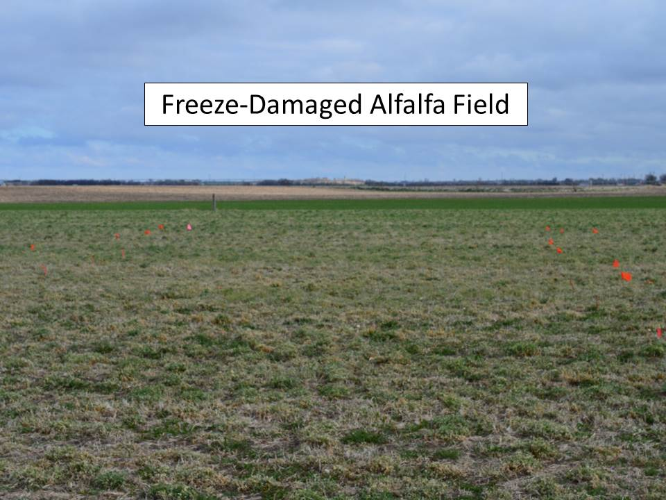 freeze damaged field