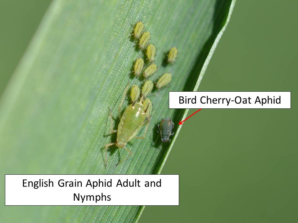 English grain aphids