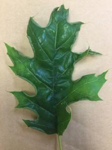 Figure 4. Leaf Marginal Fold Gall