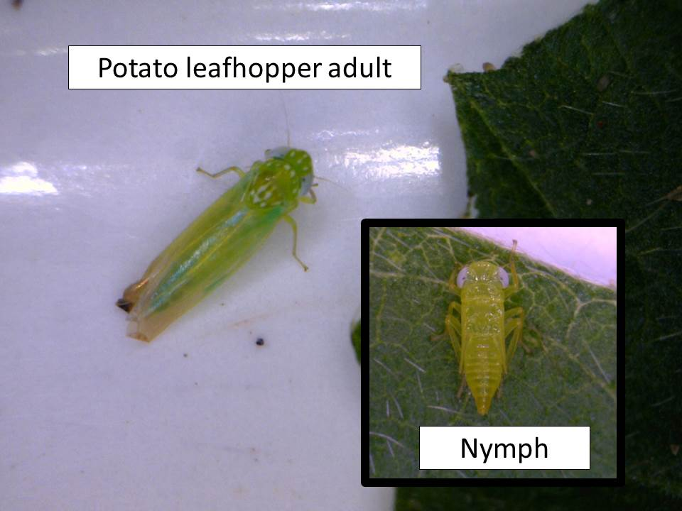 PLH adult and nymph