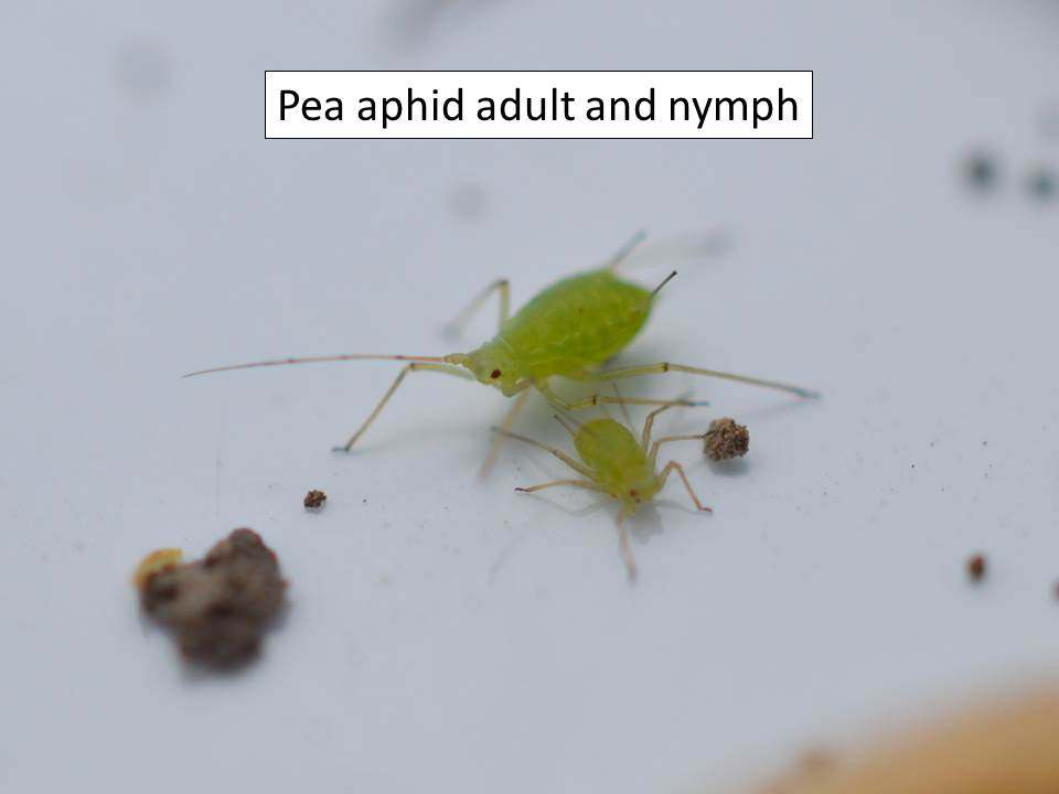 Pea aphids adult and nymph