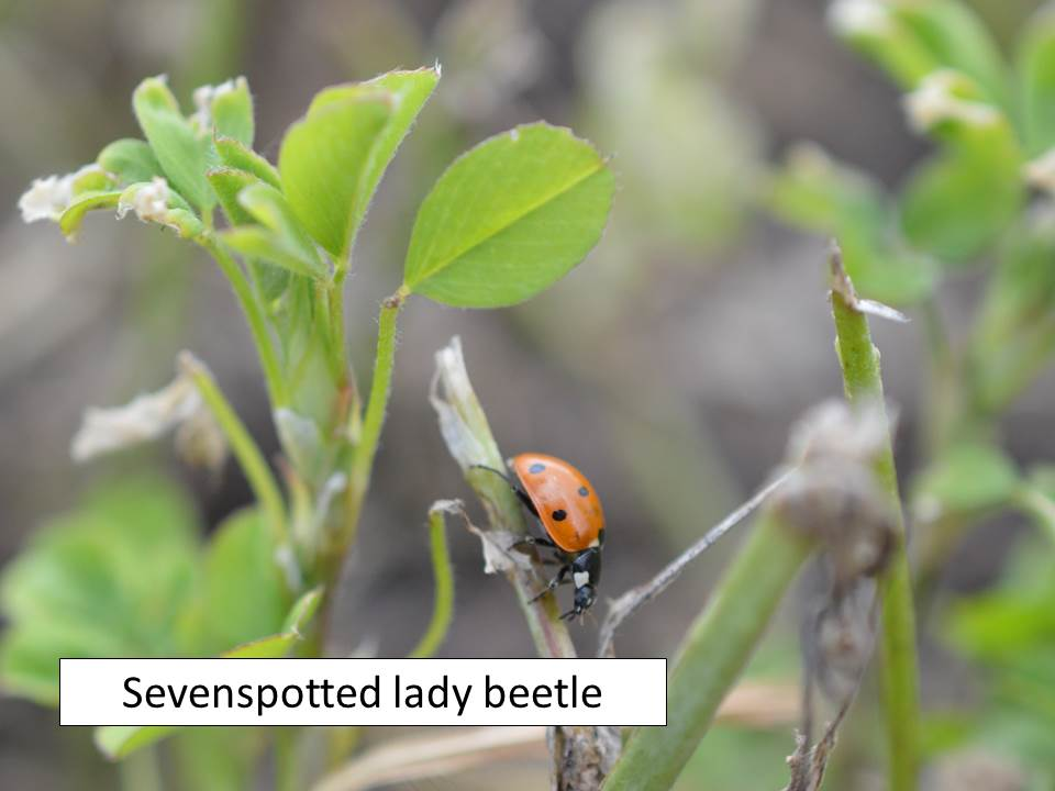Sevenspotted lady beetle