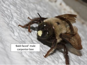 carpenter bee male