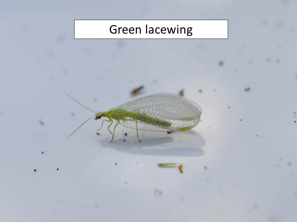 greenlacewing