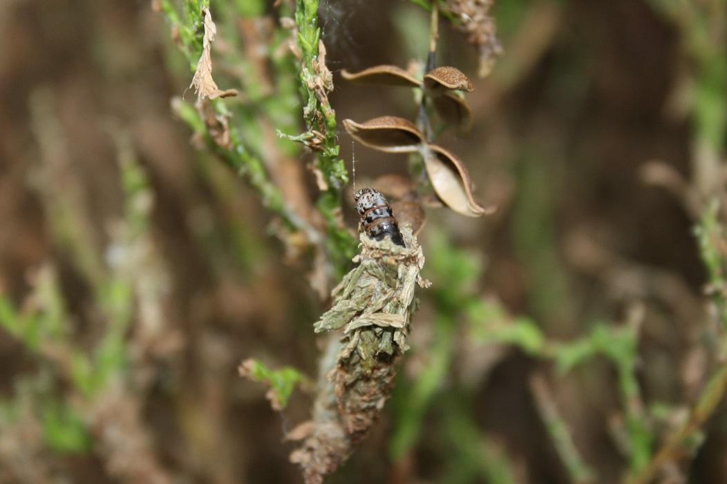 Bagworm2008xq