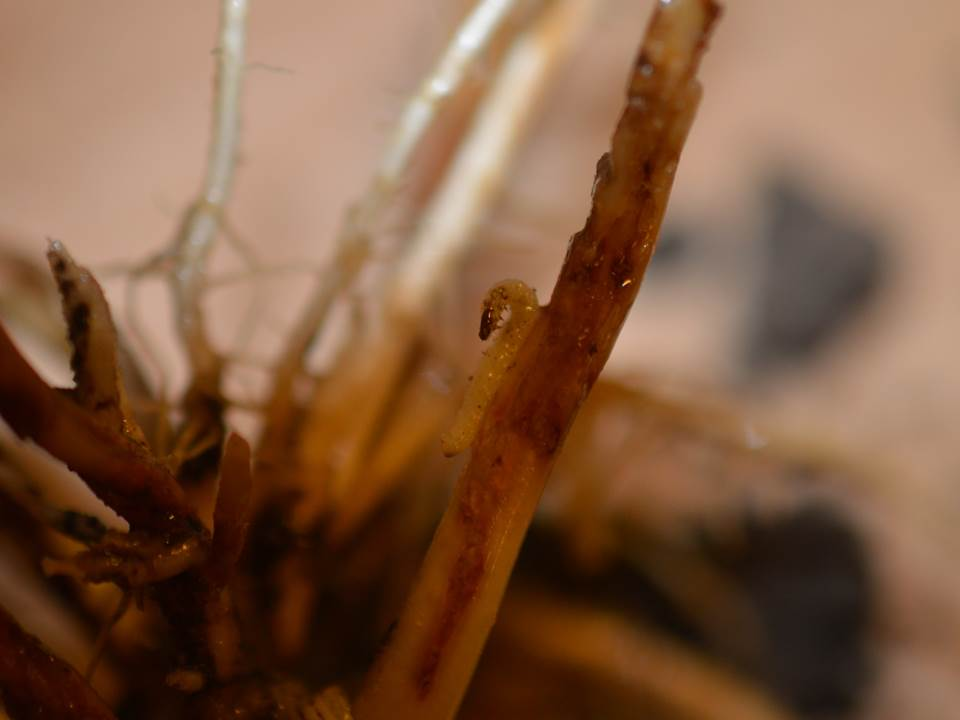 CRW larva on root