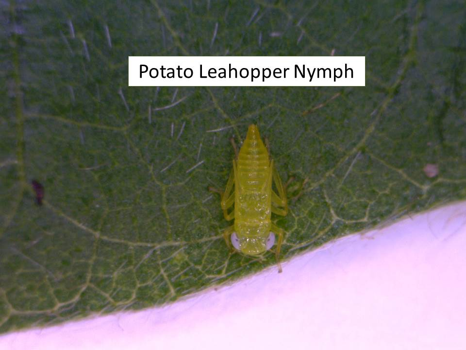 Leafhopper nymph (2)