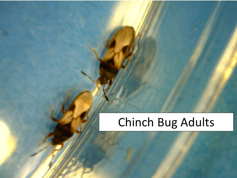 chinch bug adults