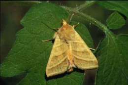 Figure 1: Tobacco budworm adult