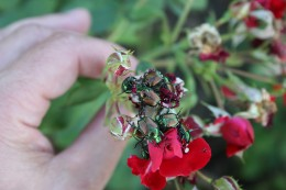 Fig 4: Japanese beetle adults aggregating on rose flower.