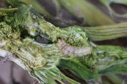 Figure 4: Mature larva of squash vine borer larval feeding