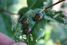 Fig 5: Japanese beetle adults feeding on leaves.