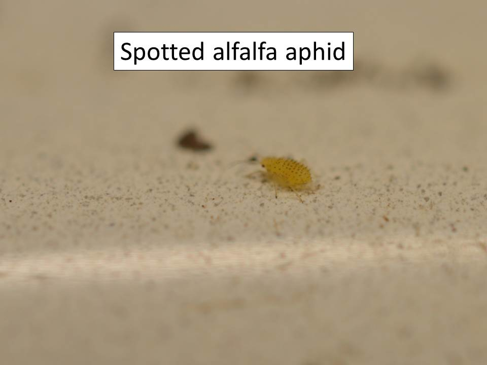 spotted alfalfa aphid