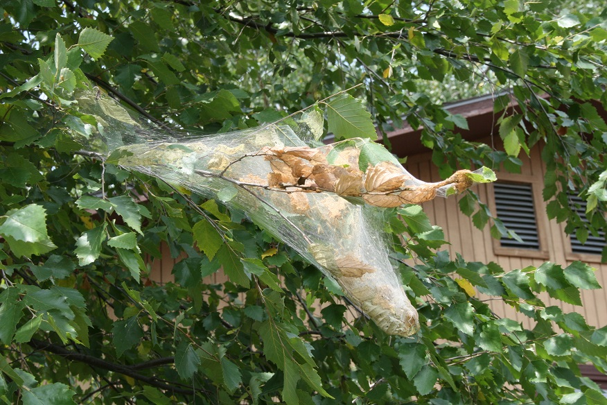 Figure 1. Fall webworm nest on birch tree (Raymond Cloyd)