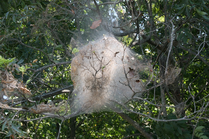 Figure 2. Fall webworm nest and accompanying feeding damage (Raymond Cloyd)