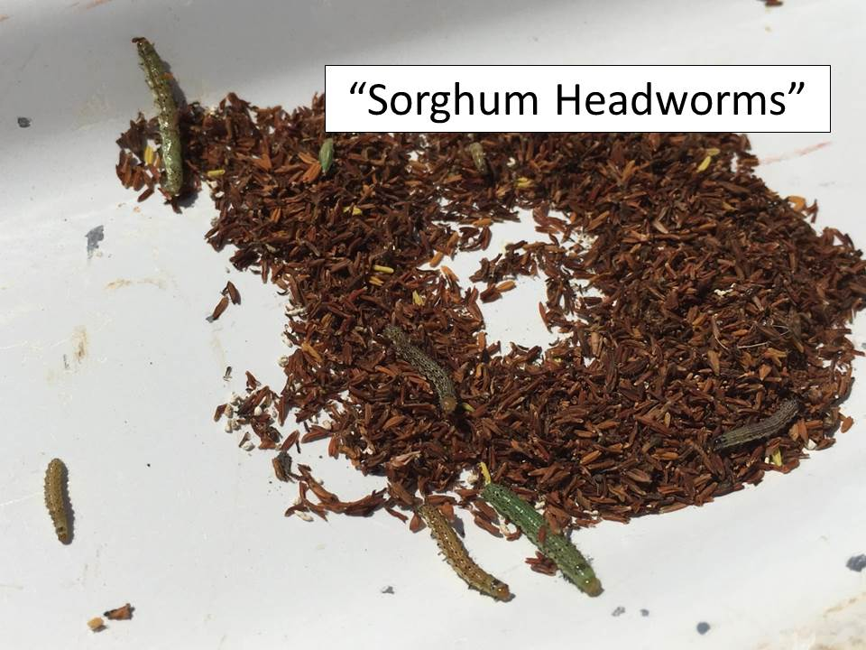 Sorghum headworms_small