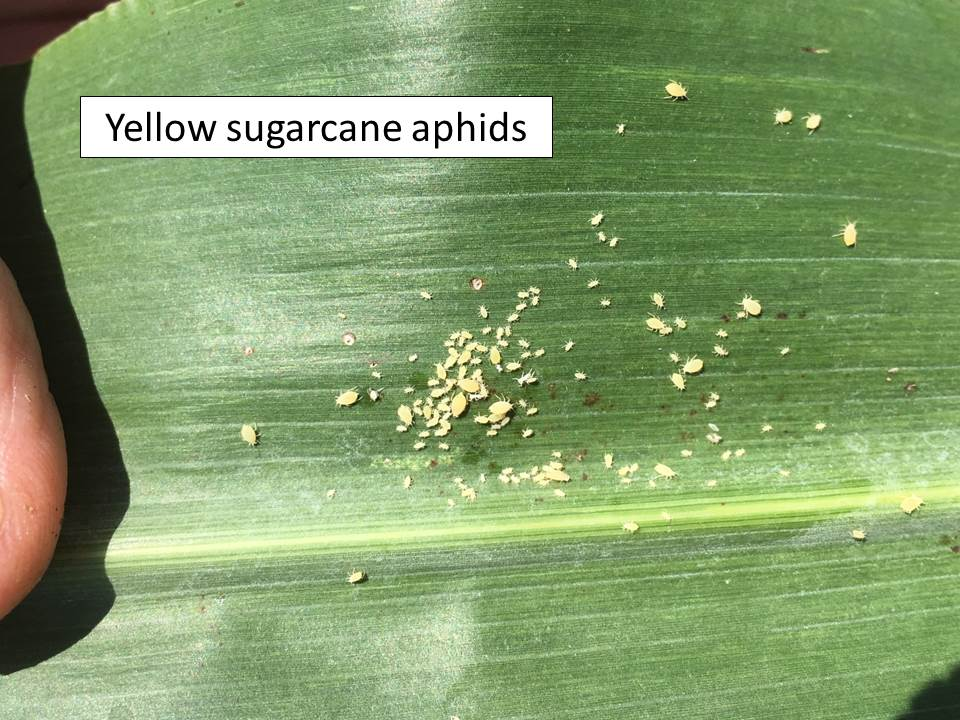 Yellow sugarcane aphids