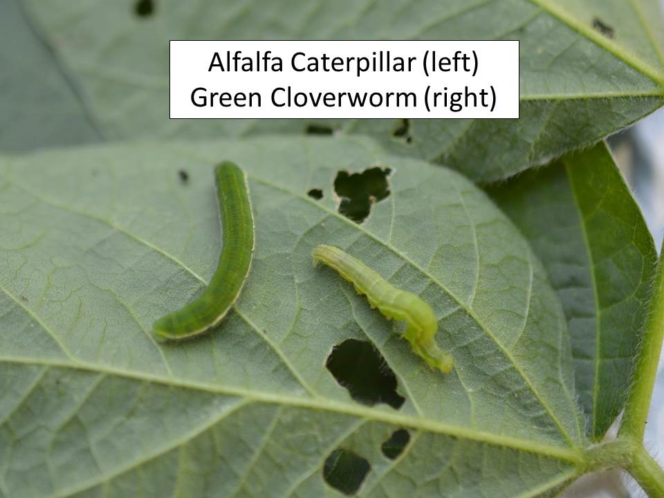 alfalfa caterpillar and green cloverworm