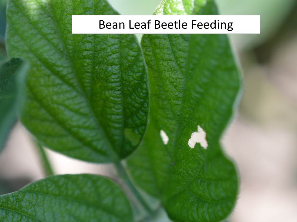 bean leaf beetle feeding