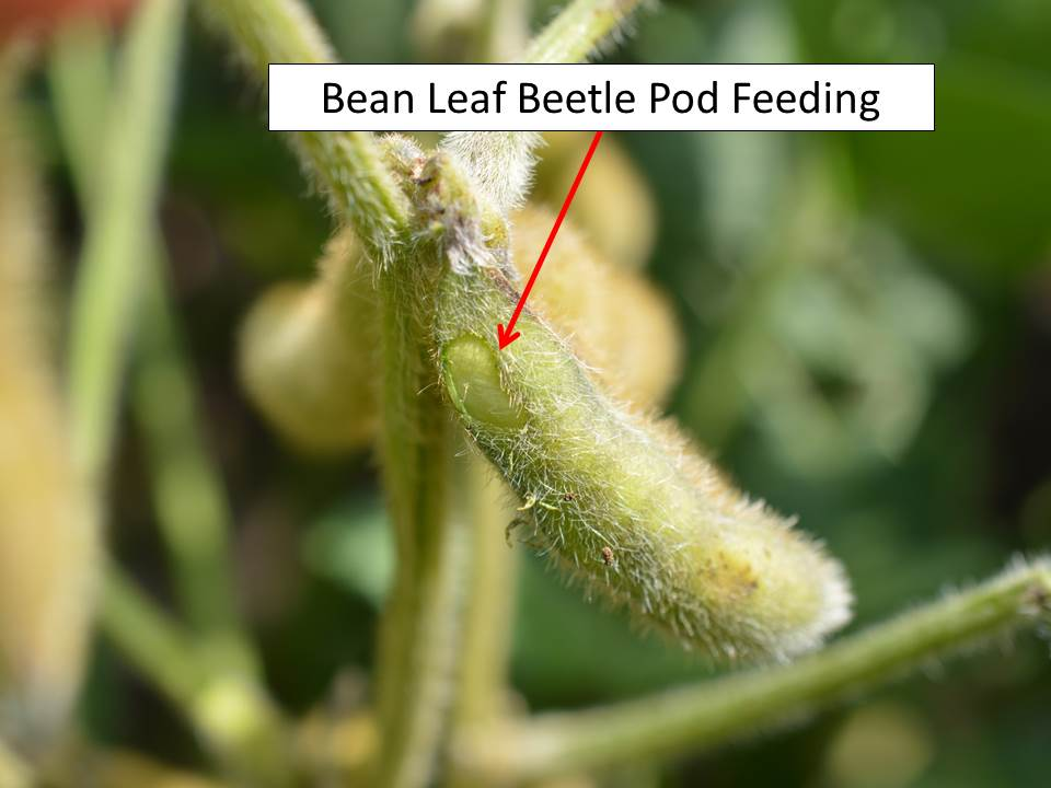 bean leaf beetle pod feeding