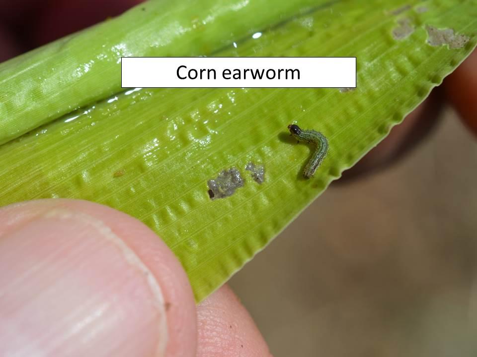 corn earworm_ragworm