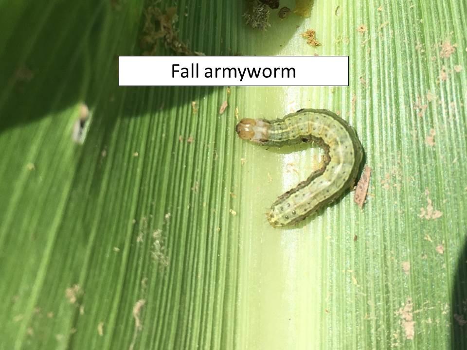 fall armyworm_ragworm