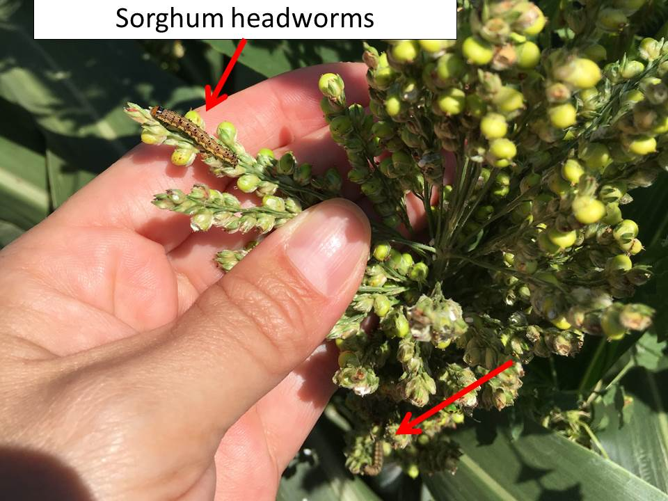 sorghum headworms