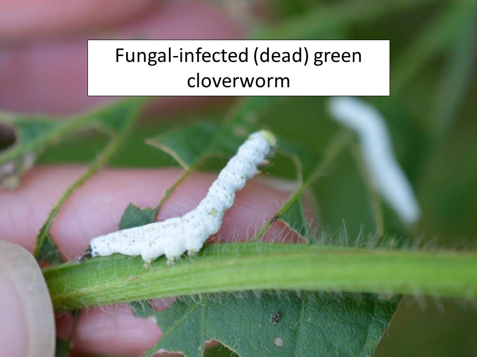 gcw-fungus