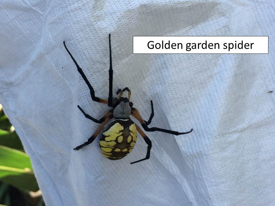 golden-garden-spider
