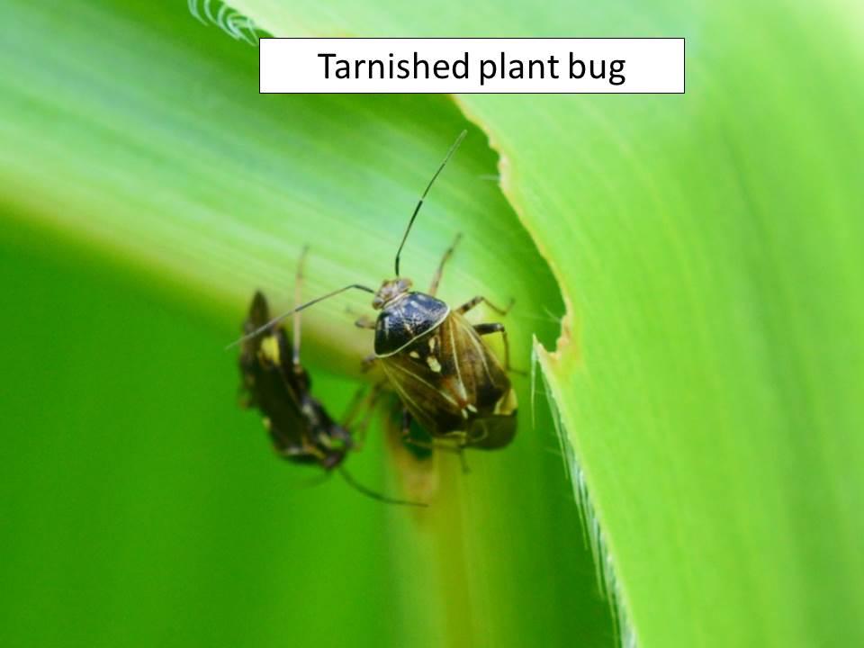 tarnished-plant