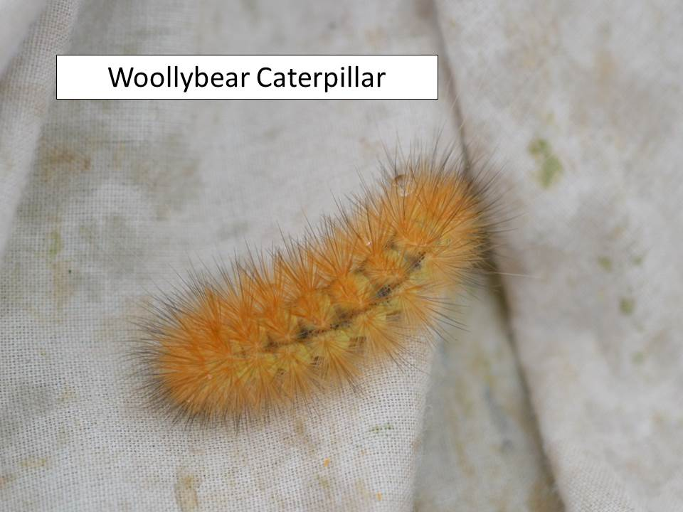 woollybear-orange