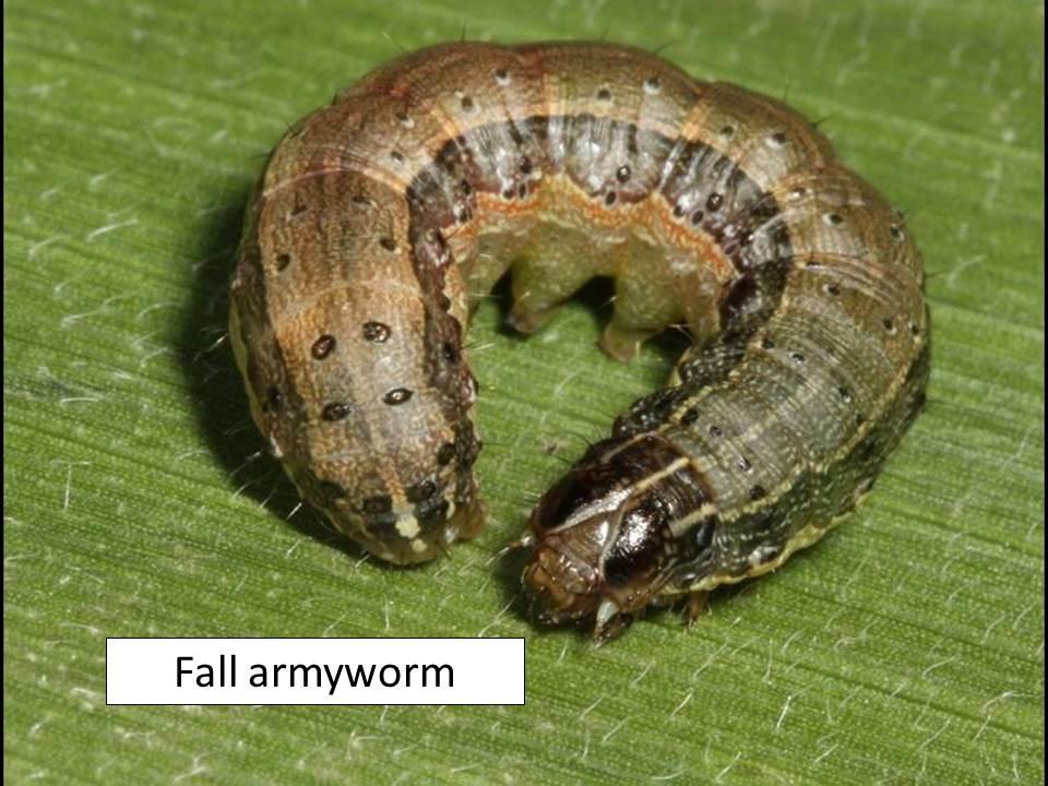 fall-armyworm