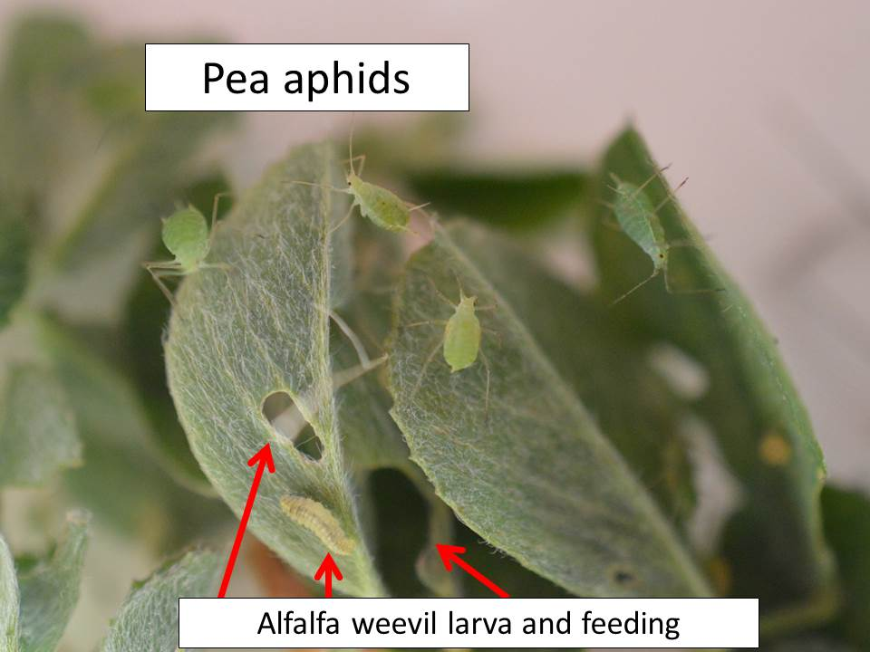 pea-aphids_aw-feeding